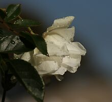 Raindrops on Iceberg Rose by robynart