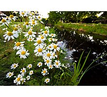 Camomiles in the park. Photographic Print