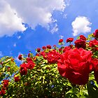 Roses and  Sky. by FotogalleryYury