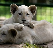 White Lion Cubs by Sheila Smith