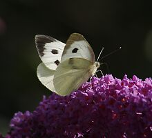 Large White Butterfly by AnnDixon
