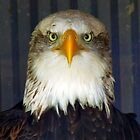 Alaskan Bald Eagle by LumixFZ28