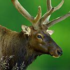 Bull Elk by kittyrodehorst