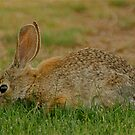 Rabbit dining by Bonnie Pelton