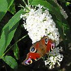 European peacock butterfly (Inachis io) on white butterfly bush (buddleia) by Philip Mitchell