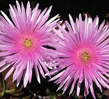Two pink pigface flowers. by Marilyn Baldey