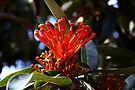Tree Waratah Flower by Evita