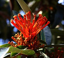 Tree Waratah Flower by Evita