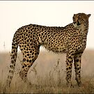 Dusk Cheetah  by Leon Rossouw