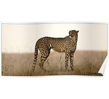 Dusk Cheetah  Poster
