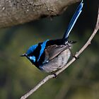 Male Black-Backed Splendid Fairy-Wren by rjpmcmahon