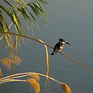 Pied Fisher In Iraq by gernerttl