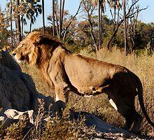 Morning hunt - Male Lion, Okavango delta by Sharon Bishop