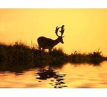 Fallow Deer (Dama dama) (1) Photographic Print
