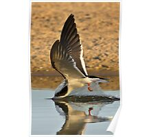 Diving Black Skimmer Poster