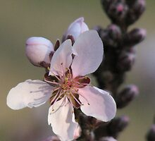 Padio Peach Blossom    by Jeffee by JeffeeArt4u