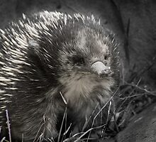 Echidna - just a-kidding around by Mark Elshout