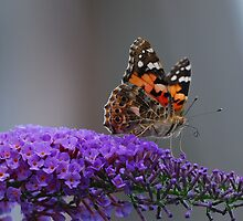 Painted Lady by Simon Pattinson