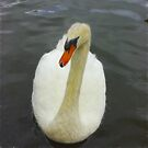 Mute Swan by Trevor Kersley