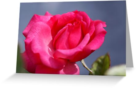 pink rose and a deep blue sky by CanDuCreations