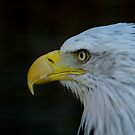 Bald Eagle by laurav