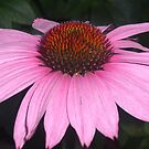 Pink Coneflower by Paula Parker