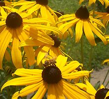 Bee & Spider Visiting Black-Eyed Susans by Paula Parker