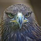 Buzzard (eye contact) by jdmphotography