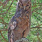 Verreaux's (Giant) Eagle Owl, Serengeti National Park, Tanzania,Africa by Adrian Paul