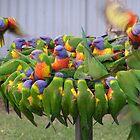 'Hey! make room for me!' Colourful Lorikeets feeding. by Rita Blom