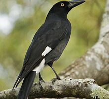 Currawong by Jarrod Calati