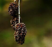 Pinecones by amccoan