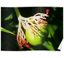 Hula dancing flower pod Poster