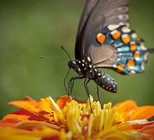 Black Swallowtail by psnoonan