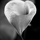 Green and white lily in monochrome by Elana Bailey
