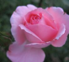 Shakespearean Rose by MarianBendeth