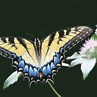 Swallowtail Feasting On Frosty Wild Mountain Mint by NatureGreeting Cards ccwri