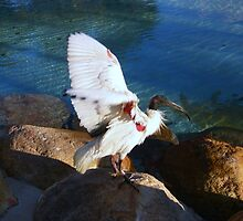 Australian White Ibis by JuliaWright