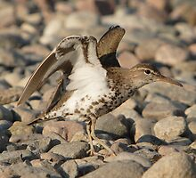 A Spotted Sandpiper by DigitallyStill