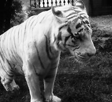 The Lonely Tiger by StephanieHadley