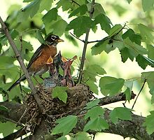 American Robin Family by Lisa G. Putman