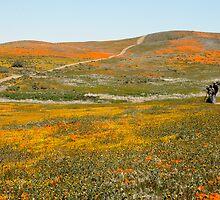 Poppy Fields by tstreet