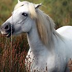 white stallion by clivo