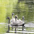 5 Cygnets In a Bunch by David A. Everitt (aka silverstrummer)