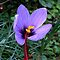 What Flower Am I? Thisis a saffron crocus, solved by RobPixaday and CanDuCreations. by Betty Mackey