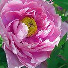 Pink Tree Peony by Betty Mackey