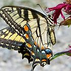 swallowtail on beebalm by Tracey Hampton