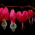 Bleeding Heart by photoloi