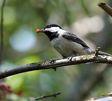 Rudolph the Black-Capped Chickadee (Frame 1) by Wolf Read