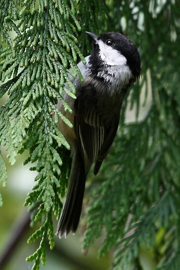 Black-Capped Chickadee in Western Redcedar Spray by Wolf Read